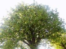 Stort landsträd Arkivfoton