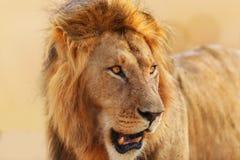 Stort lejon på soluppgång i masaien Mara Arkivfoto