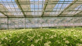Stort ljust v?xthus med petunian Gul blommande petunia V?xande blommor p? en industriell skala Petunia i lager videofilmer