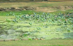 Stort lotusblommadamm Detta damm är hem- till många djur- och matkällor arkivfoto
