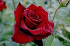 Stort mörker - röd ros med svarta åder på kronbladen Fotografering för Bildbyråer