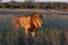 Stort manligt lejon som går till och med grässlätt royaltyfri bild