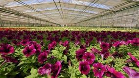 Stort modernt v?xthus f?r v?xande blommor Modernt automatiserat exponeringsglastak i ett v?xthus mot bakgrunden av lager videofilmer