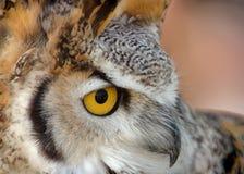 Stort nära övre för Horned Owl Arkivbild