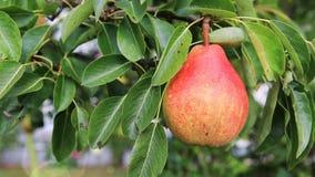 Stort päron i sommarträdgården stock video