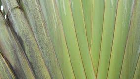 Stort palmträdblad Texturerad tropisk växt för stor palmträdgräsplan med korsningen sidor arkivfilmer
