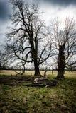 Stort parklandträd Royaltyfria Bilder