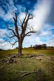 Stort parklandträd Arkivfoton