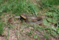 Stort piska ormen (den Dolichophis caspiusen) Royaltyfria Bilder
