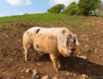 Stort prickigt svin med svarta fläckar som ser till kameraanseendet i ett fält Arkivfoto