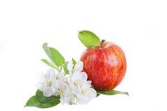 Stort rött äpple Royaltyfri Foto