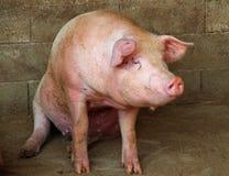 Stort rosa svin i svinstian av lantgården i bygden Arkivfoto