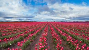Stort rosa tulpanfält i härlig himmel royaltyfri bild