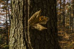Stort rostigt blad för höst på en stor trädstam royaltyfria foton