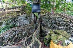 Stort rotat träd på den Goa Gajah fristaden Ubud royaltyfri foto