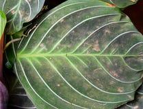 Stort rundagräsplanblad av Maranta - naturlig bakgrund för abstrakt textur Royaltyfri Bild