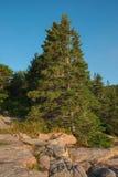 Stort sörja trädet som växer på den rosa graniten, vaggar tjock skiva i Acadia Arkivfoto