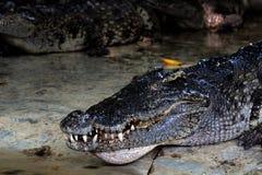 Stort sötvattens- krokodilhuvud royaltyfri bild
