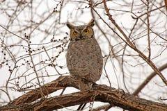 Stort sammanträde för Horned uggla på ett träd i Nevada Arkivfoton