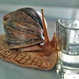 Stort se för snail bevattnar i ett genomskinligt exponeringsglas Royaltyfri Foto