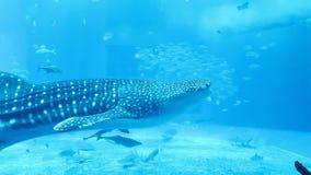 Stort simma för tigerhaj som är undervattens- med många mindre fisk omkring i ett klart blått vatten royaltyfri fotografi