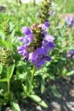 Stort själv-läka (den grandiflora prunellaen) Royaltyfri Foto