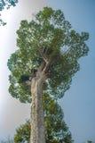 Stort skäll för Dipterocarpus alatusträd som ser upp Den Dipterocarpus alatusen också som är bekant som 'Yang Na' i thailändskt s arkivfoton