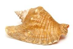stort skal för conch Royaltyfri Fotografi