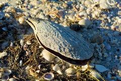 Stort skal med tusentals små skal på stranden Arkivbild