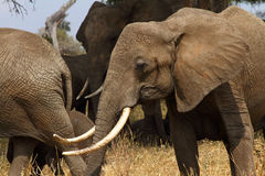 Stort skjutit Tusked afrikanskt Bush elefanthuvud Arkivfoton
