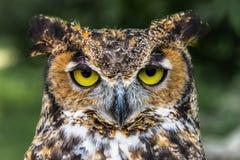 Stort slut för Horned uggla upp av gula ögon för framsida arkivfoton