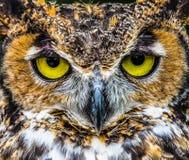 Stort slut för Horned uggla upp ljusa gula ögon arkivfoto