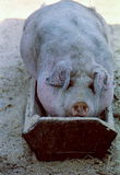 Stort smutsigt svin som klättras in i förlagemataren och där vilas Royaltyfria Foton