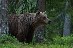 Stort sniffa för brunbjörn Royaltyfri Foto