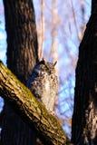 Stort sova för horned owl Arkivfoto
