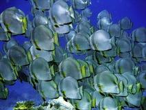 stort stim för batfish Arkivbild