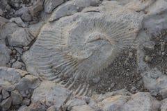 Stort stort fossil Arkivfoton