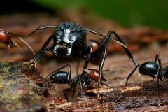 stort svart huvud för myra Arkivbild