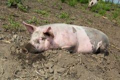 Stort svin på lantgården Arkivbild