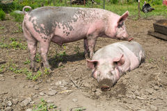 Stort svin på lantgården Royaltyfria Bilder