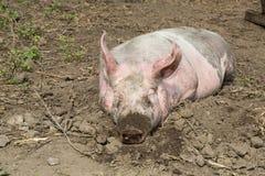 Stort svin på lantgården Arkivfoto