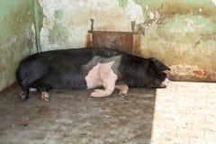 Stort svin som sover lantgården Royaltyfri Fotografi