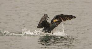 Stort ta för Cormorant besegrar arkivfoto
