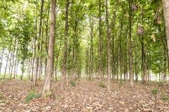 Stort teakträträd i skogen, gräsplan Arkivbilder
