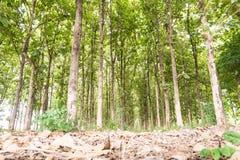 Stort teakträträd i skogen, gräsplan Royaltyfria Foton