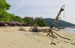 Stort torrt träd på stranden Royaltyfri Bild