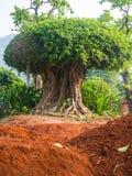 Stort träd Arkivbilder