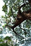 Stort träd 01 Fotografering för Bildbyråer