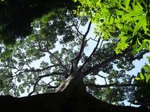 Stort träd för Rainforest Arkivbilder