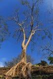 Stort träd för siden- bomull i tempel för Ta Prohm Arkivbild